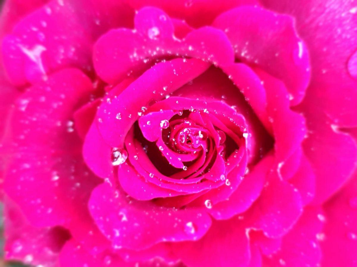 Rose mit Tropfen